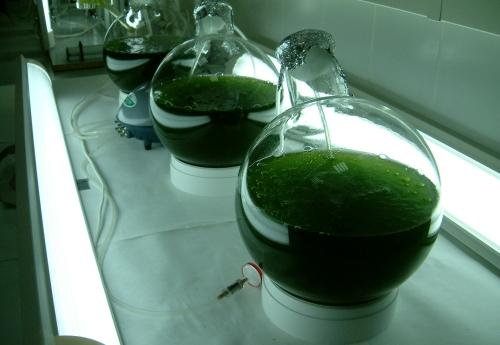 biocombustibe-algas