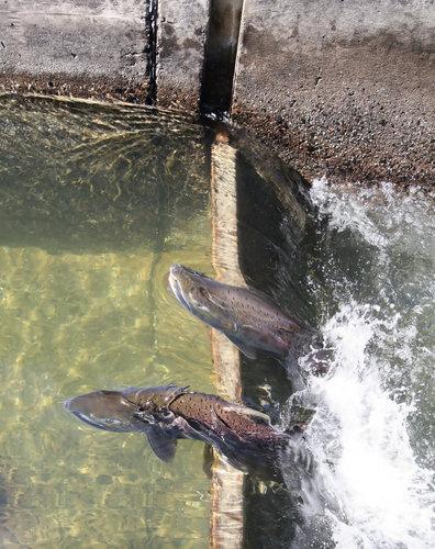 peces subiendo la escalera de la presa de Geesthacht